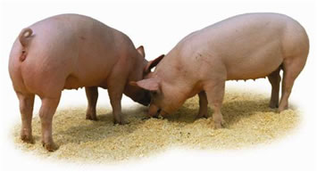 Genetic injection revitalises college pig business