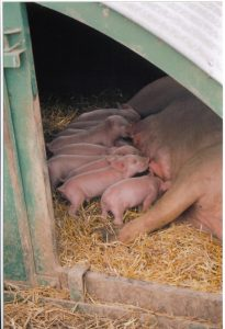 Achieving a firm, stable nest environment aid farrowing and early lactation outdoors.