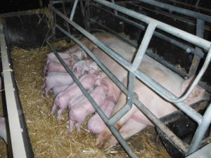 6a-lactating-sow-and-litter